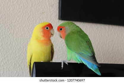Two beautiful lovebirds