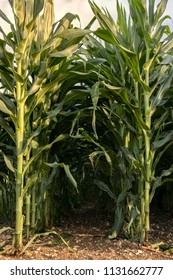 two beautiful maize rows in a large field