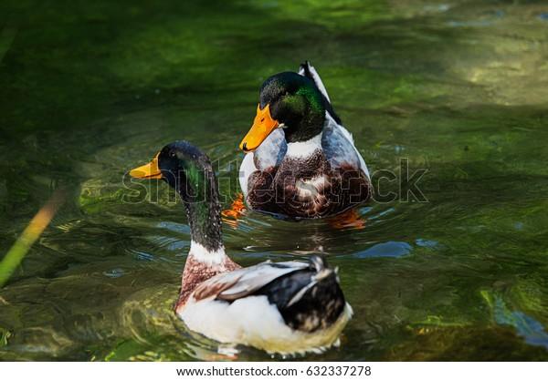 Two Beautiful male ducks swim in the lake