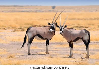 Two beautiful male Gemsboks (Oryx gazella) in the savannah of Etosha National Park in Namibia.