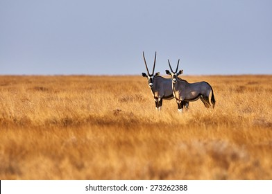 Two beautiful oryx in the savannah of Etosha National Park in Namibia
