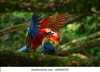 Two beautiful parrots on tree branch in nature habitat. Pair of big Scarlet Macaw, Ara macao, sitting on the branch, Brazil.