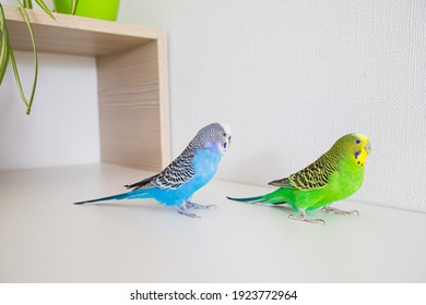 Two beautiful parrots sit facing each other on a white surface and communicate nicely