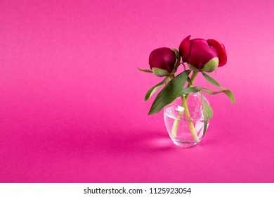 Two beautiful peony flowers in vase on dark red background with copy space.