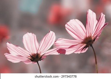two beautiful pink cosmos flowers, back lighted in soft pink tones