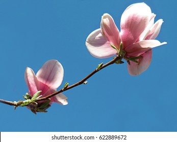 two beautiful pink magnolia flowers in the blue background of sky, fully open in mid spring, april , turned towards the sun