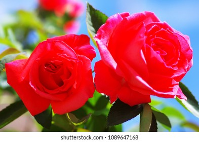 Two Beautiful red Roses against blue sky