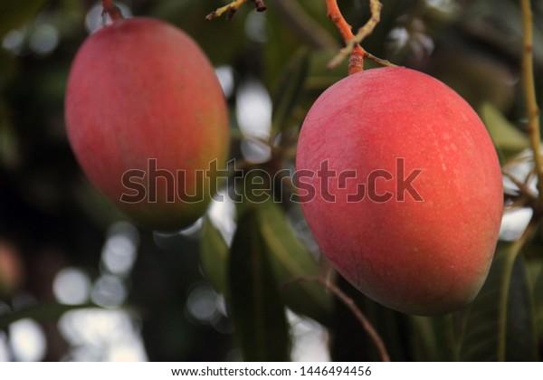 two-beautiful-reddish-mangoes-growing-60