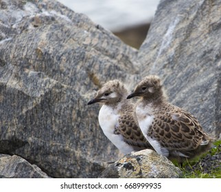 Two beautiful seagull  seabird of family Laridae in sub-order Lari  young  brown speckled chicks are standing on a granite rock near the old landbacked wharf in Bunbury, Western Australia in winter.