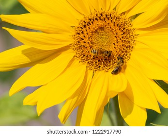 two beautiful smart bees are sitting on a yellow flower of a sunflower and the sunlight is shining and the background is blurred