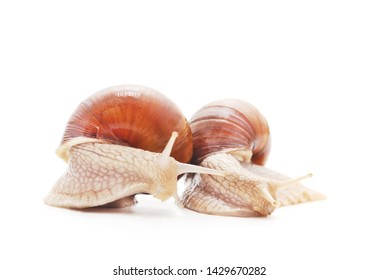 Two beautiful snails with isolated on a white background.