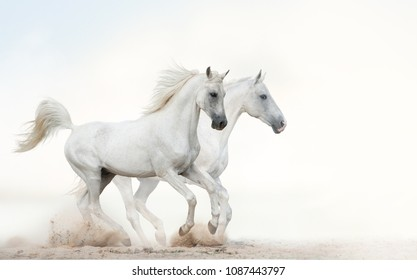 Two beautiful snowy white horses running together on light background