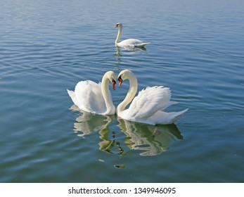 Two beautiful swans facing each other and shaping a heart as swimming in a pond