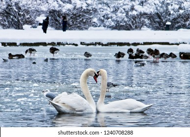 Two beautiful swans at the Nymphenburg Palace, Bavaria, Germany