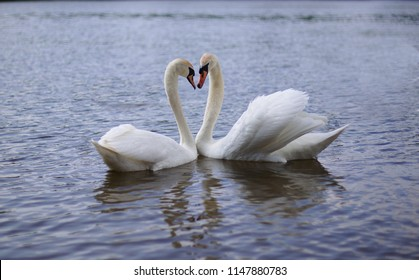 two beautiful swans on the sea are floating nearby