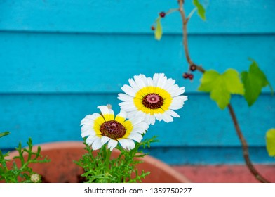 Two beautiful and uncommon daisy flowers have dark faces with pink, and yellow bands of colour, and are juxtaposed against a turquoise building.