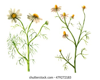 Two beautiful watercolor chamomile flower decoration