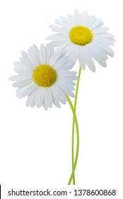 Two beautiful white chamomile daisy branches isolated white