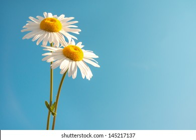 Two beautiful white flowers daisies over clear blue sky. Summer concept, horizontal, copy space