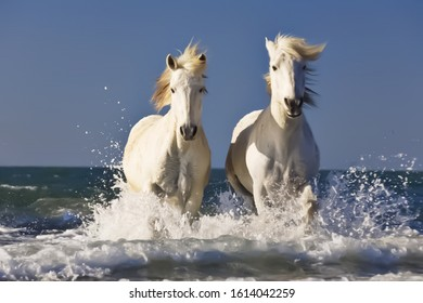 Two Beautiful White Horse Running In The Water