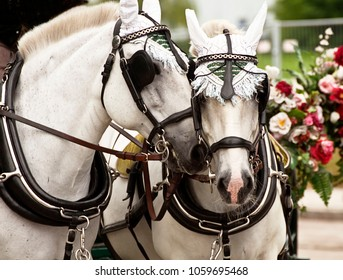 two beautiful white horses cozy snugging together,  blurred background
