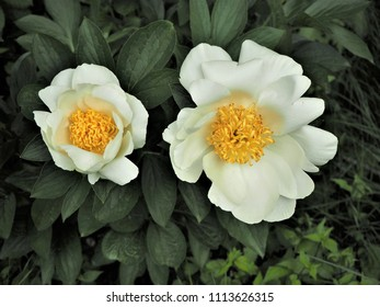 Two beautiful white peony flowers with yellow centres and green leaves