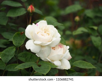 Two beautiful  white rose flowers and a bud with green leaves