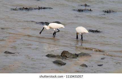 two beautiful white spoonbills foraging in the sea westerschelde in spring