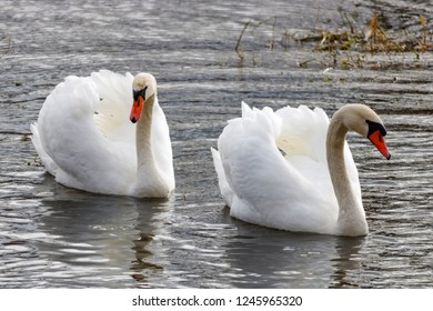 Two beautiful white swans with raised wings swimming on the river surface