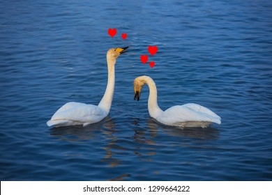 Two Beautiful white whooping swans swimming in the nonfreezing winter lake. Two loving couple swans, to love or valentine day concept