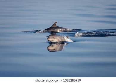Two beautiful wild free dolphins playing