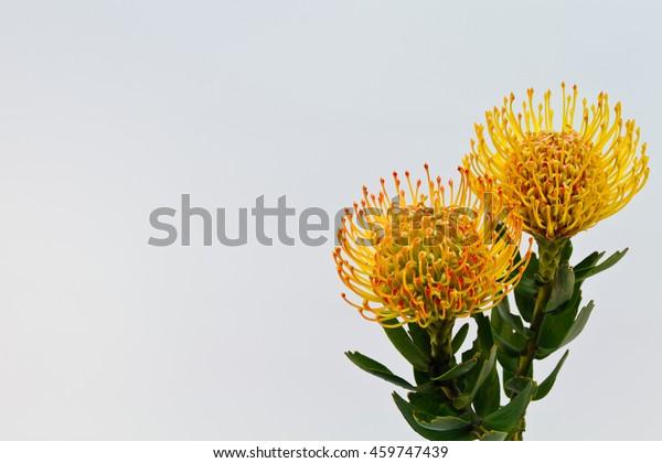Two Beautiful Yellow Pin Cushion Protea Stock Photo Edit Now 459747439