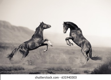 two beautiful young stallions fighting in the desert in monochromatic tones