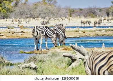 Two beautiful zebras at a lush, full and very busy water hole. Etosha National Park, Namibia, Africa.