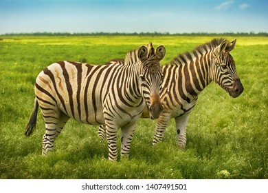 Two beautiful zebras in wild steppe in nature reserve Askania Nova, Ukraine on blue sky background