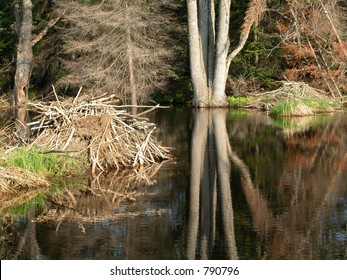 Two beaver lodges in a swamp, Gatineau Park, Quebec