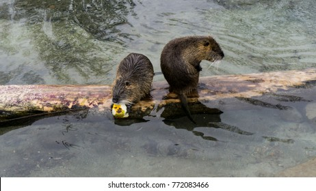 Two Beaver resting on a piece of wood eating in winter / autumn