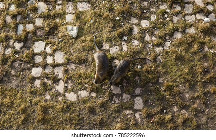 Two beavers on the ground in Prague city