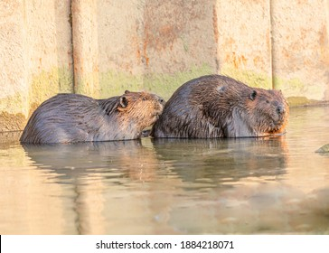 Two beavers side by side in the water