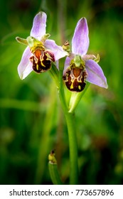 Two Bee Orchids isolated from the background.