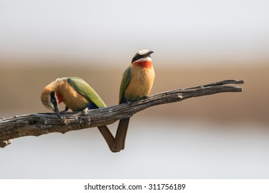 Two beeaters purched on a dry branch and one is eating a bee