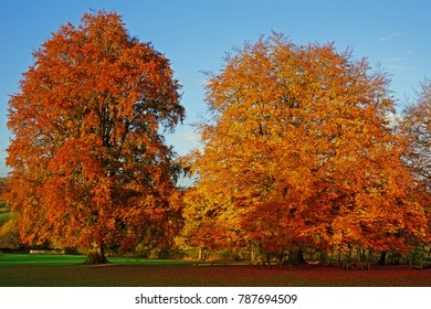 Two Beech trees, Fagus sylvatica, in beautiful Autumn colours, Gloucestershire, UK