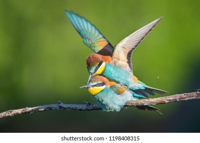 The two bee-eaters and Love moment