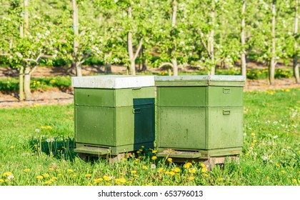 Two beehives among apple trees in an orchard to help with pollination and better crop.