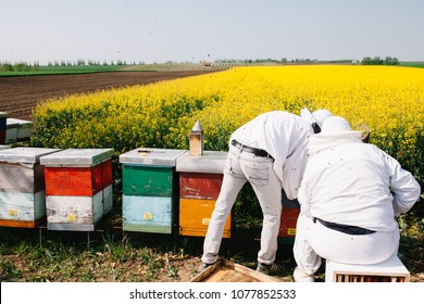 Two beekeepers working with bees in Rapeseed field