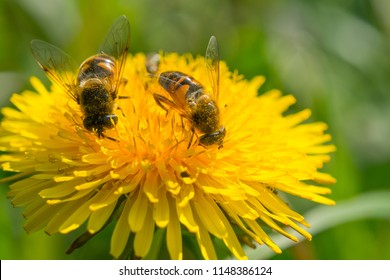Two Bees collect pollen from a dandelion flower.
