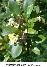 Two bees on branch of flowering shrub