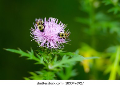 Two bees on a purple flower