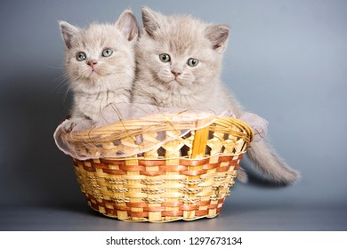 Two beige british cat kittens in a basket