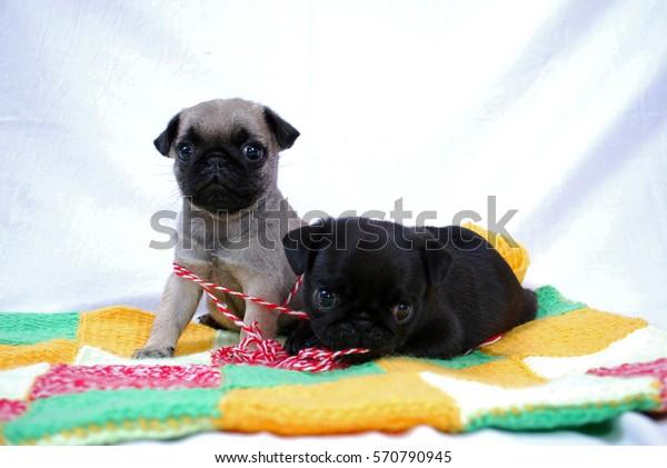 Two Beige Puppies Pug Play Woolen Stock Photo Edit Now